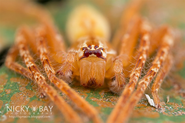 Huntsman Spider (Gnathopalystes sp.) - DSC_6388