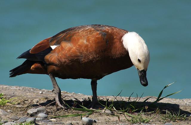 Paradise duck. female.(Tadorna   tadorna)