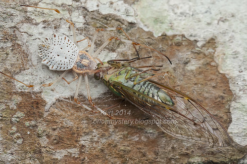 Herennia ornatissima with cicada prey IMG_0143 copy