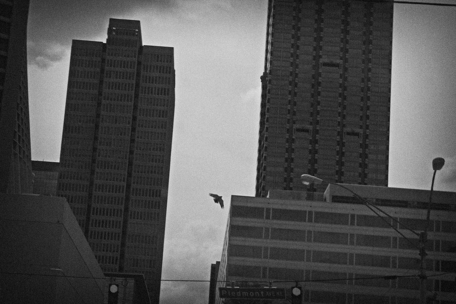Hawk, Piedmont Avenue, Downtown Atlanta
