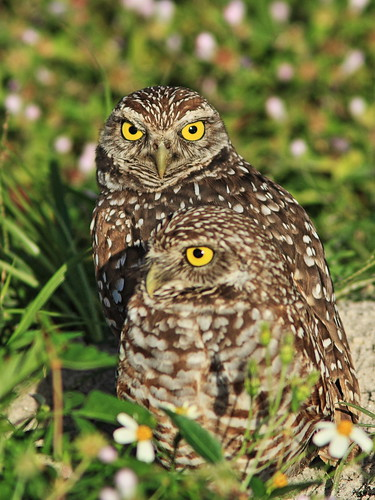Burrowing Owl pair 3-20131223