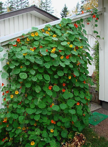 My climbing nasturtium eila kaarina flickr for Climbing flowering plants for fences