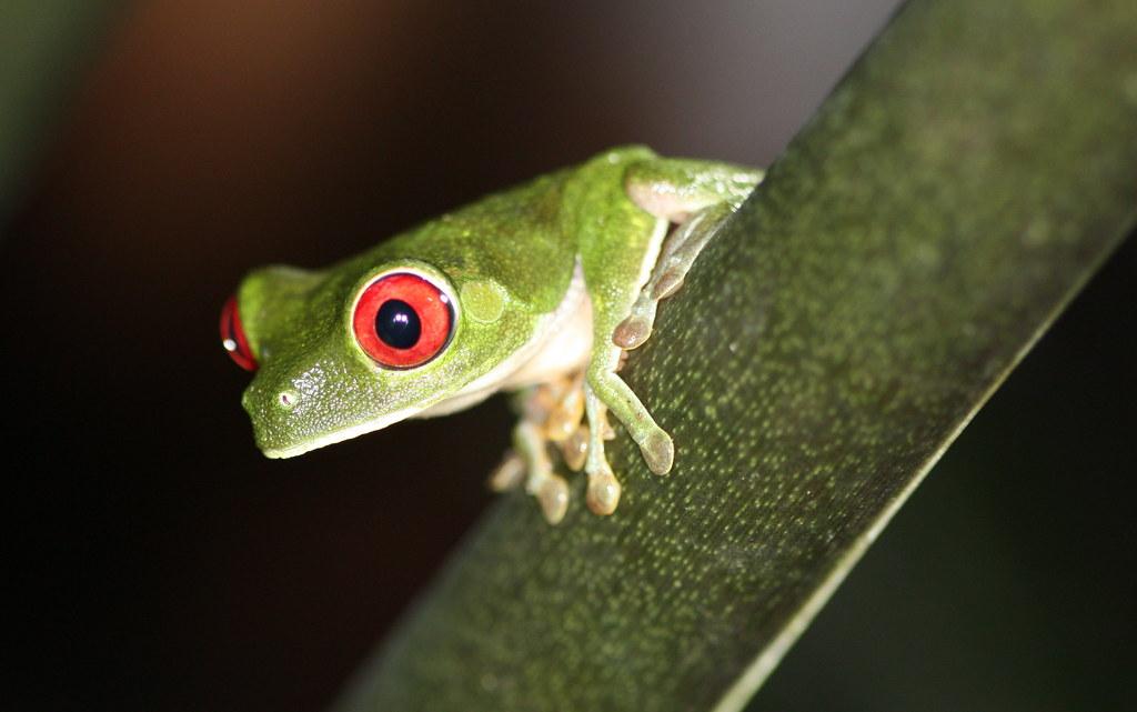 Costa Rica - red-eye frog