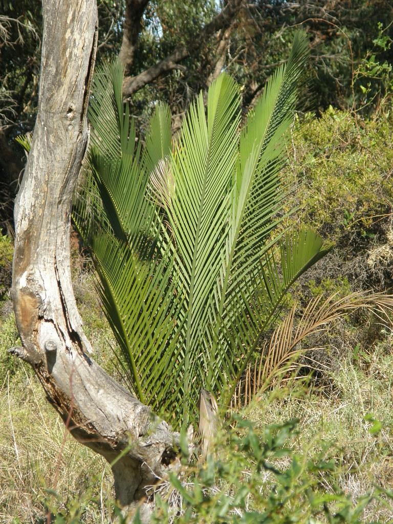 Macrozamia fraseri in bushland