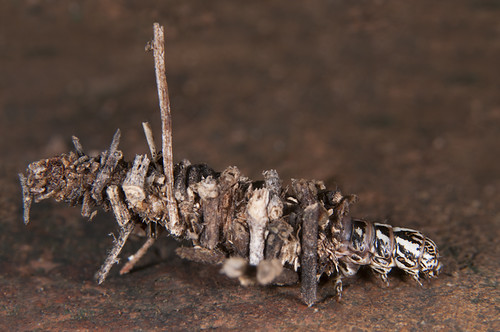 Bagworm moths