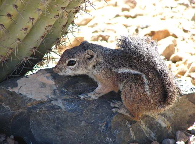 Antelope Ground Squirrel 06