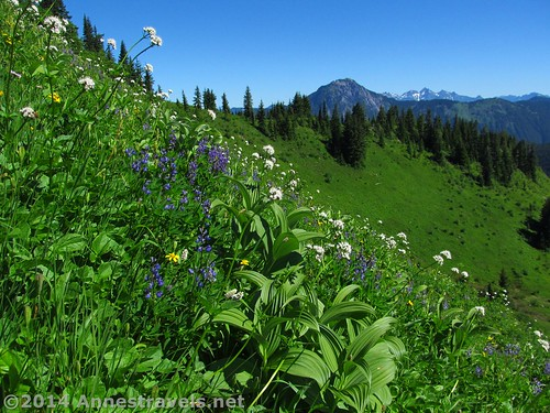Wildflowers on Canyon Ridge, Mt. Baker-Snoqualmie National Forest, Washington