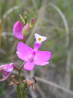 Grass Pink Orchid | by USFWS/Southeast