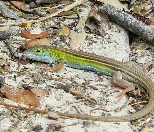 Six-lined Racerunner, Aransas NWR, Texas | by TomSpinker