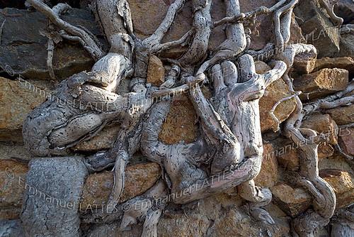 racines de lierre des bois hedera helix sur un mur du ch flickr. Black Bedroom Furniture Sets. Home Design Ideas