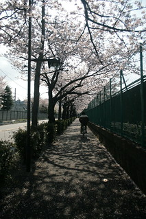 Cherry Tree Lined Street | by keiosu