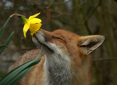 Fox and Daffodil | by Sweetmart