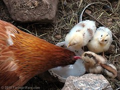 Three Chicks and Mama Hen Drinking Water | by Farmgirl Susan