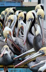 Pelicans-storms-2010-group-aviary ibrrc | by Contra Costa Times