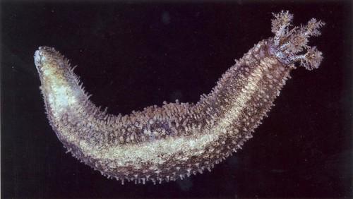 Thyonella gemmata