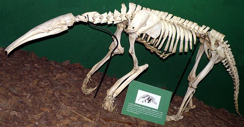 SOUTH AMERICAN GIANT ANTEATER - skeleton of adult - (Myrmecophaga tridactyla tridactyla) # Original= (3332 x 1735) | by turdusprosopis