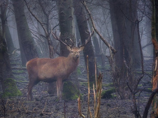 Red deer in the misty dense woodland | by B℮n