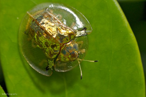 Golden Tortoise Beetle | by knfk