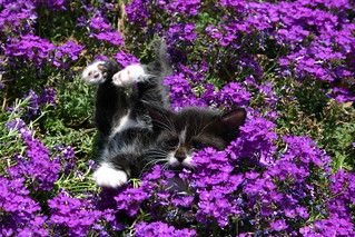 PURPLE KITTEN | by Ghostshutter2010