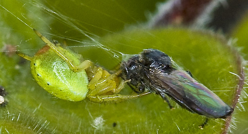 Spider catching fly | by Roland Bogush