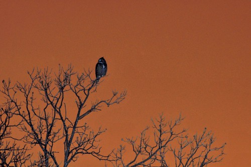 Great Horned Owl Night Shots