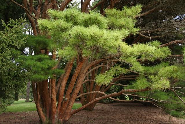 #230 tanyosho pine