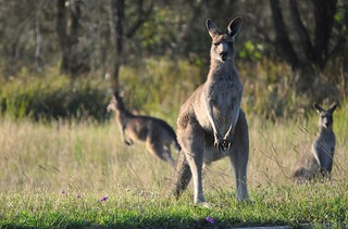 Curious Kangaroos | by Glen_Wright