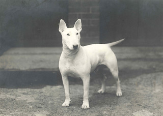 Original photo of Bull Terrier Ch. Num Skull   c.1930 | by Etchings Plus - Finally got a laptop!