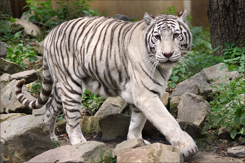 White Tiger in Ouwehands Zoo | by Foto Martien