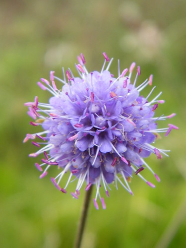 Devil's-Bit Scabious | by Derbyshire Harrier