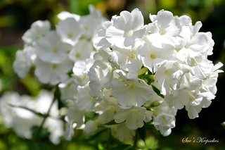 Phlox 'White Flame' | by Sue's Keepsakes