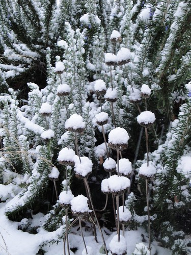 Phlomis seedheads in snow 1 | by RHR Horticulture