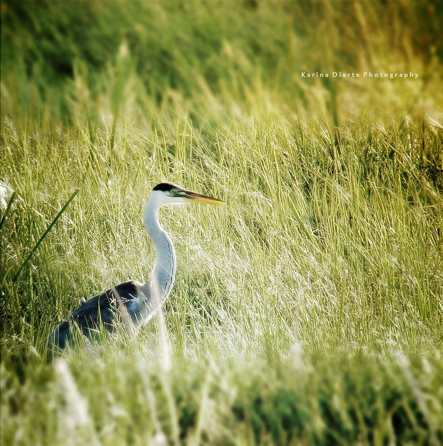 Garza Mora / White-necked Heron