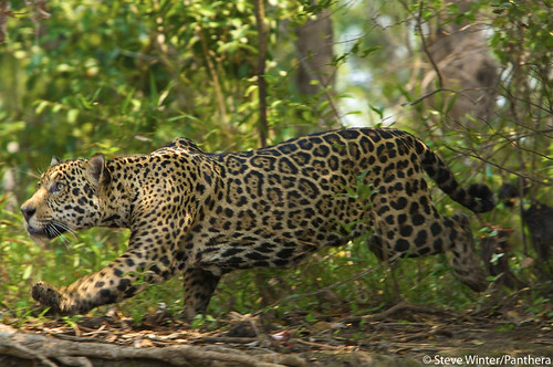 Jaguar stalking in the Brazilian Pantanal | by Panthera Cats