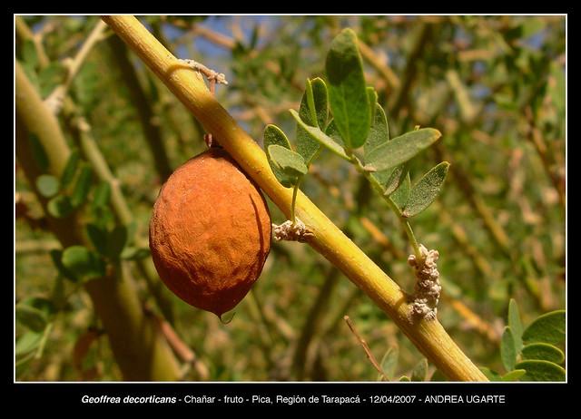 Geoffrea decorticans - fruto