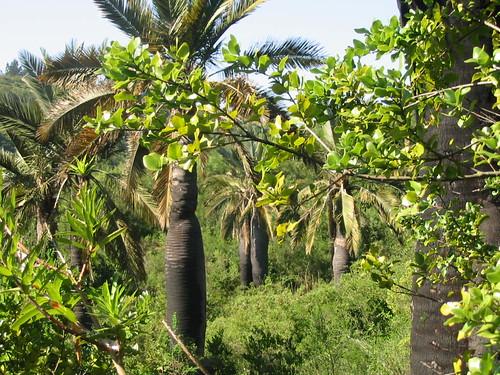 Quebrada 7 hermanas jubaea chilensis mol baillon for Jardin botanico vina