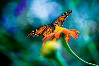 Butterflies-210 | by curtisWarwick