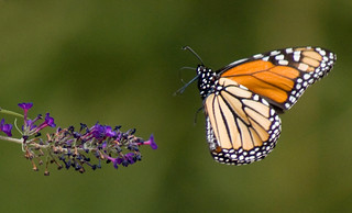 Stopping by for a taste of the Butterfly Bush! | by Connie Etter Photography