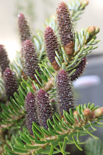 Conifer Cones | by thegardenbuzz