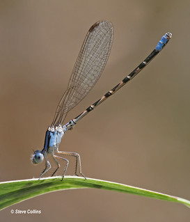 Paiute Dancer (Argia alberta) ♂ | by Odephoto