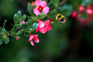 Bumblebee | by Mauritzson Foto