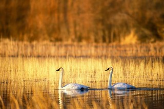Trumpeter Swans | by ThomasChamberlin
