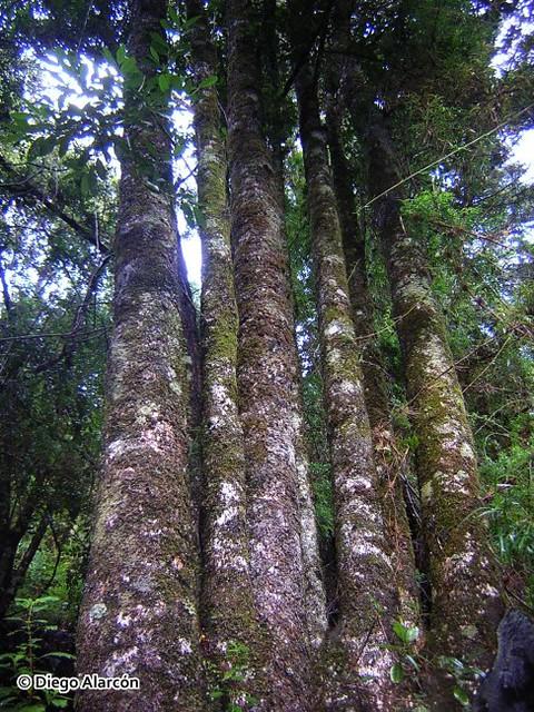 Troncos de Gomortega keule, de origen reproducción vegetativa