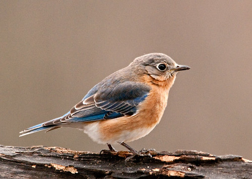 Female Bluebird - 1st of Year | by Jerry Acton