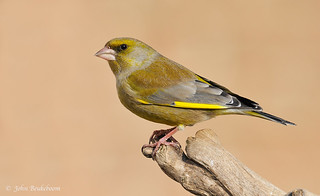 Greenfinch | by John Beukeboom