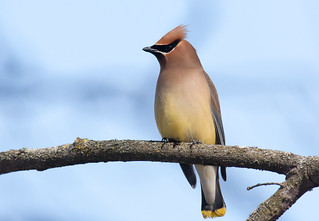 Cedar Waxwing: Eating some berries | by mbaglole