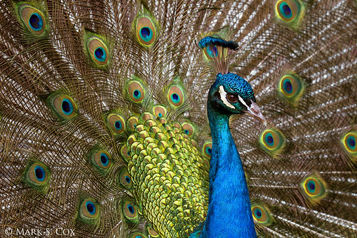 Indian Peafowl | by mctuba