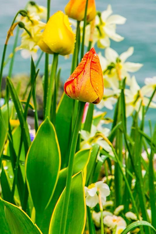 flowers, tulips, Lake Geneva, travel, vacation in Switzerland