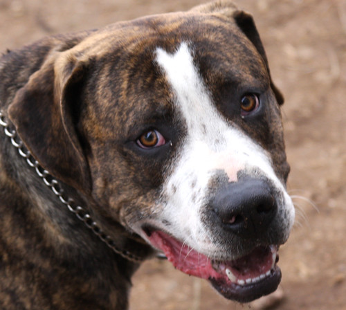 Found Brindle Pitbull Mix Dog in Colorado Springs, CO on April 17th, 2011, Needs a Home too ... | by Beverly & Pack