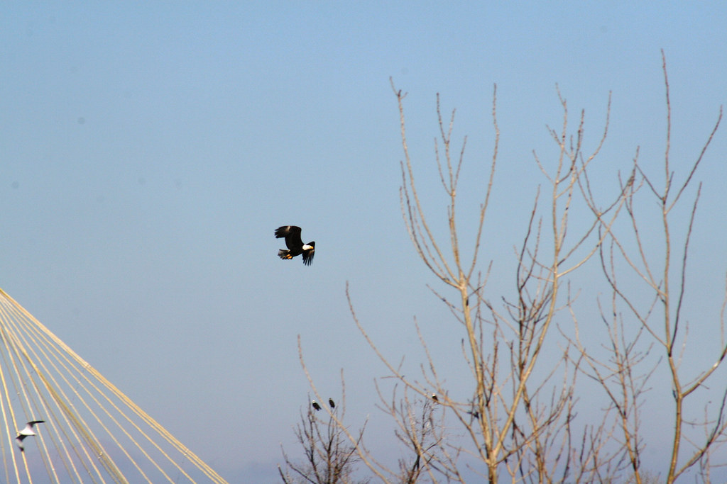 Eagle Flying Over Mississippi River